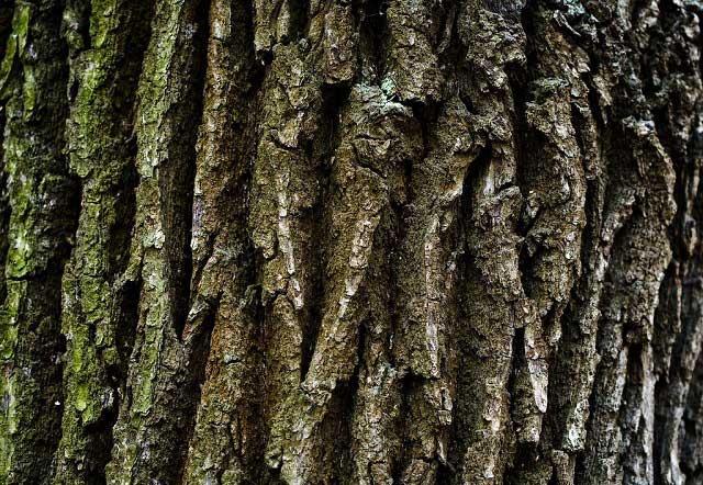 Отвар из коры дуба от выпадения волос